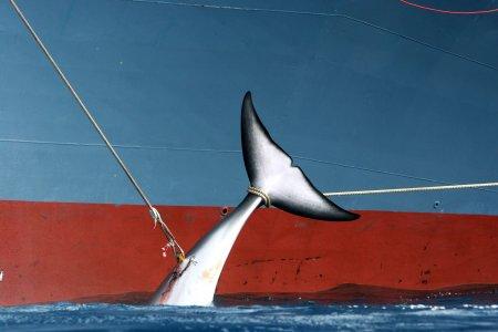 Il Giappone torna a uccidere le balene. Allora boicottiamo i prodotti giapponesi!