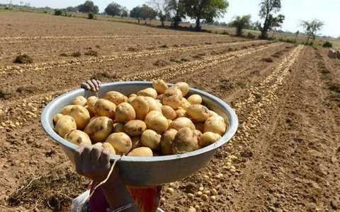 I contadini indiani vincono la battaglia con la PepsiCo sulle patate brevettate