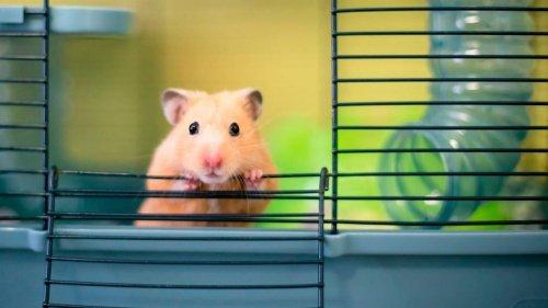 Novità dalla Fattoria degli Animali: siamo nell'era del criceto