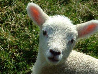 Domenica a Firenze in piazza contro il massacro degli agnelli di Pasqua