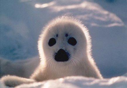 Canada, primavera di sangue. Video shock dall'Ifaw sulla caccia alle foche