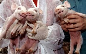 Allevamenti di maiali transgenici per il business degli xenotrapianti