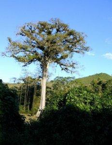 Guatemala, 11.850 alberi per compensare le emissioni di gas serra