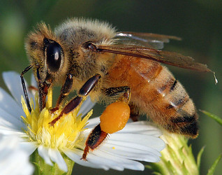L'apicoltura va in città, coltivare il miele su tetti e balconi
