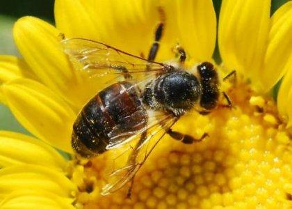 Caldo: api stremate riducono i voli. Miele a rischio