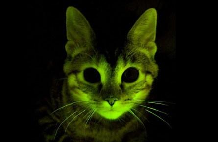 Gatti fluorescenti contro l'Aids. Ma il modello animale è differente da quello umano