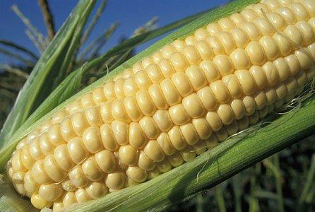 OGM: scoperti nel Lazio campi contaminati