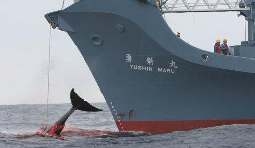 Giappone: Greenpeace condanna l'aumento dei sussidi per la caccia alle balene
