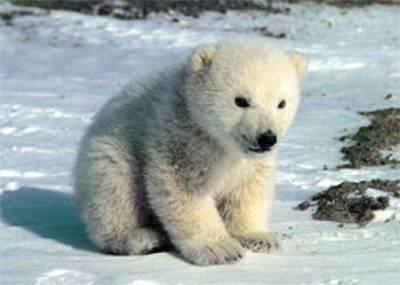 Orsi polari, è allarme estinzione. Lo conferma un nuovo studio IUCN