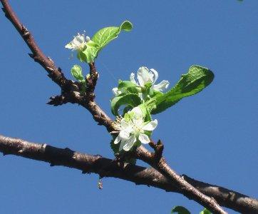 Se i pruni fioriscono a ottobre, il vero prezzo dei cambiamenti climatici