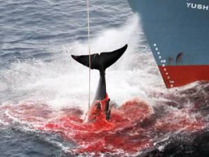 Fukushima, i soldi per le vittime utilizzati per la caccia alle balene