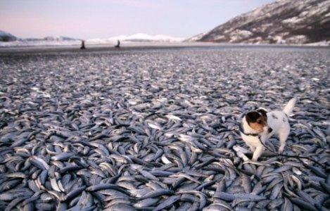 Norvegia: trovate migliaia di aringhe morte in spiaggia