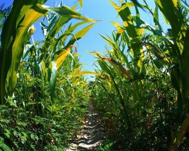 L'Ungheria distrugge il mais OGM, 1000 ettari al macero