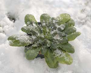Il gelo brucia le piante in terrazzo: come salvarle
