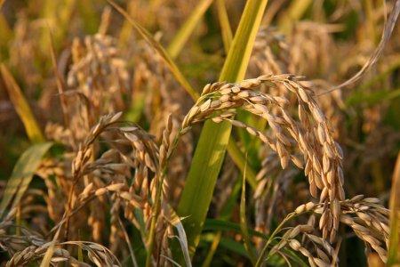 MicroRNA attivi nell'organismo. Quale impatto in tema di OGM?