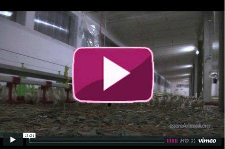 Fabbriche di uova: le galline negli allevamenti