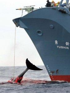 Antiwhaling Day 2010. Oggi giornata contro la caccia alle balene