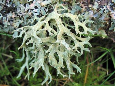 Diario di Pratale: l'Evernia prunastri, muschio di quercia