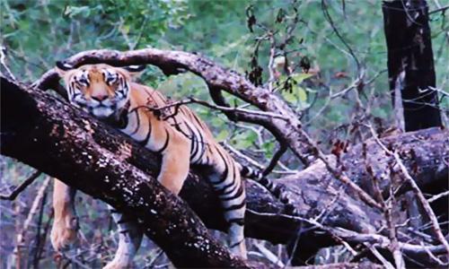 Perché la tigre dorme sull'albero? Se Google non basta