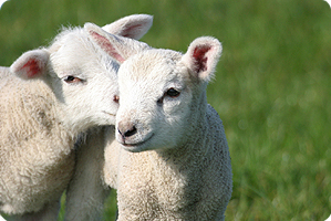 Agnelli di Pasqua, il silenzio degli innocenti
