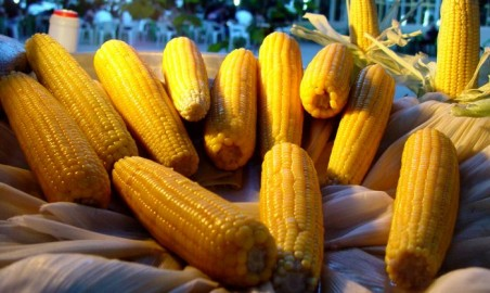 Monsanto mente ancora: il mais Bt ha problemi di resistenza