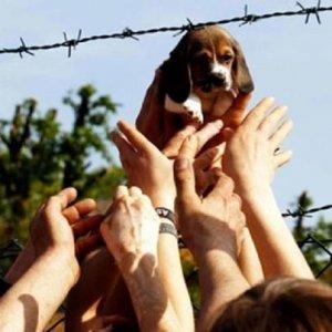 Green Hill: beagle uccisi perché