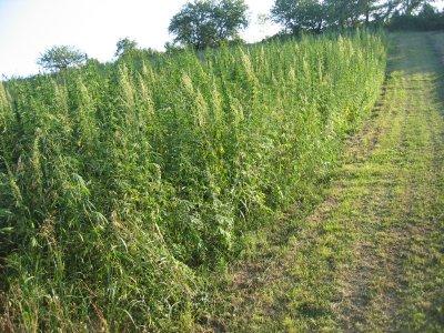 A Capannori il comune rilancia la coltivazione della canapa