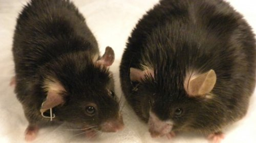 Vivisezione. Test sui topi inattendibili?