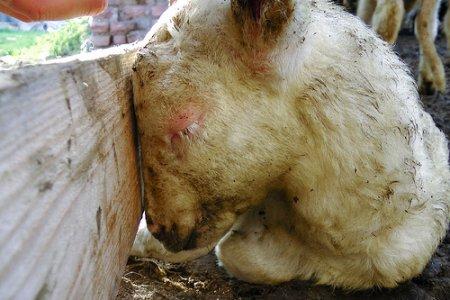 """A Pasqua """"Salva un agnello"""", l'investigazione di Animal Equality"""