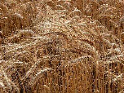 OGM: negli Usa trovato frumento contaminato