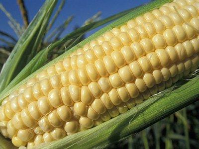 """Seminato mais OGM in Friuli: """"un reato annunciato"""""""
