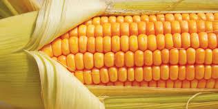 Mais OGM: Ue riapre procedura per l'approvazione