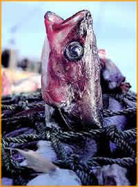 Pesci scuoiati vivi, lo svela un'indagine dell'MFA