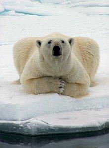 Per raggiungere i ghiacci, un orso polare femmina nuota per nove giorni