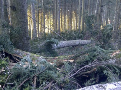 La strage degli alberi di Vallombrosa
