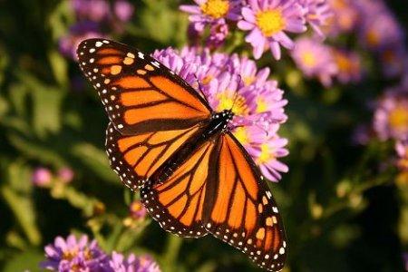 Farfalla Monarca in estinzione, la Monsanto tra le cause