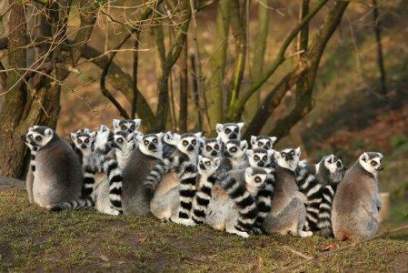 Mangi una bistecca? Uccidi un lemure in Madagascar