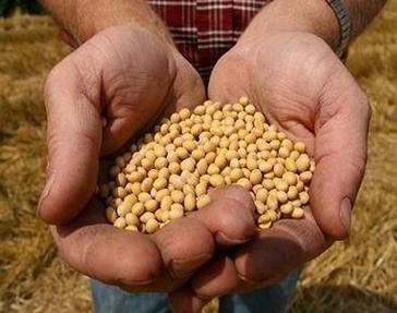 La soia Ogm, il pesticida Monsanto e quella carne 'non modificata'