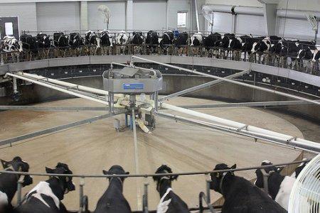 Perché consumare latte non è più innocente che mangiare carne