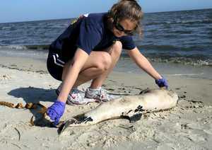 Marea nera, a un anno dall'esplosione la moria dei piccoli delfini