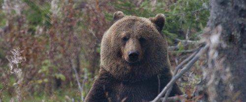 Uccisa l'orsa Kj2: non è pensabile condannare a morte un animale perché... non è un peluche!