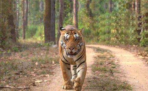 Survival: «Boicottare il turismo nelle riserve delle tigri in India se non si garantiscono i diritti per i popoli tribali»