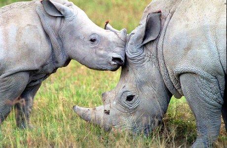 Gli afrodisiaci asiatici minacciano il rinoceronte africano