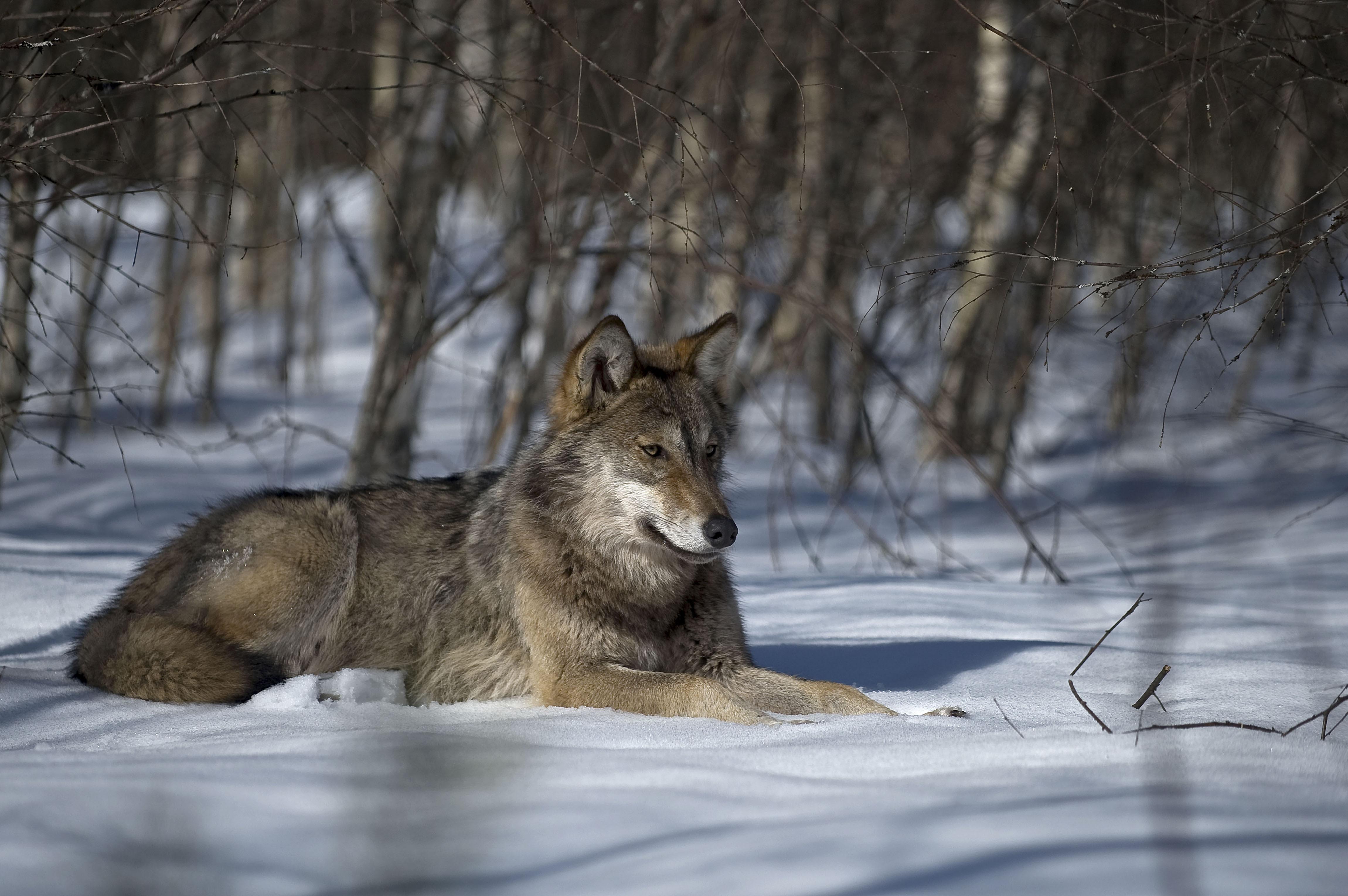 Media e agricoltori dichiarano guerra al lupo, ma è solo un capro espiatorio