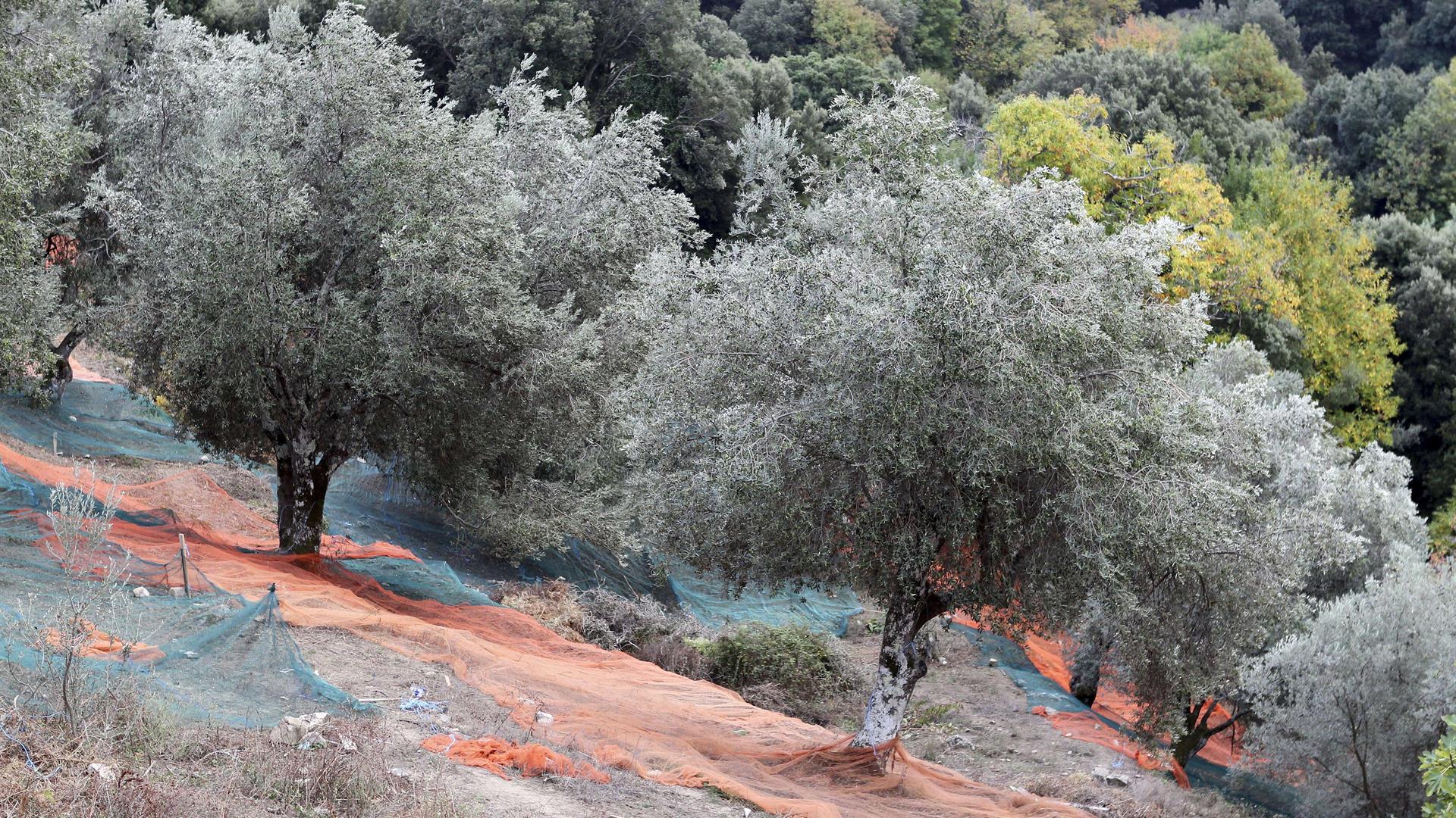 Associazioni e comitati si alleano: «Basta con la distruzione degli ulivi in Puglia e con la diffusione selvaggia di pesticidi»