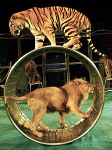 Inghilterra: vietati gli animali esotici nei circhi britannici