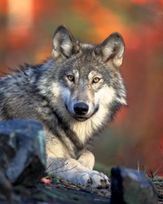 WWF: basta nascondersi dietro al lupo 'cattivo'!