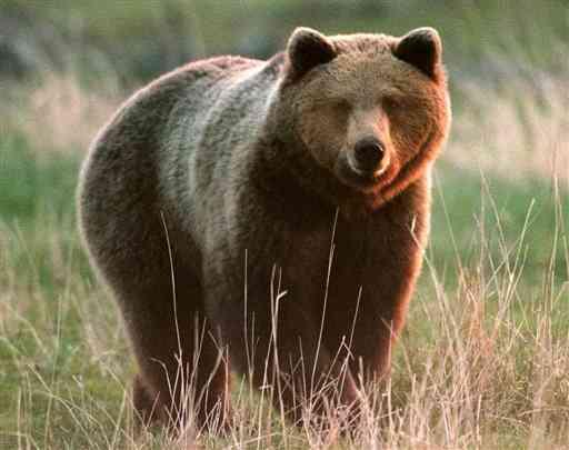 """WWF: """"la Regione Abruzzo si schiera contro l'orso"""""""
