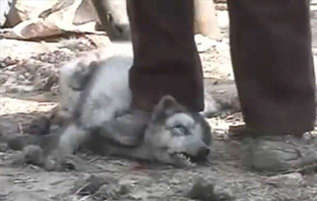 Pellicce: procioni scuoiati vivi per imbottire stivali