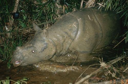 Estinto l'ultmo rinoceronte di Giava in Vietnam